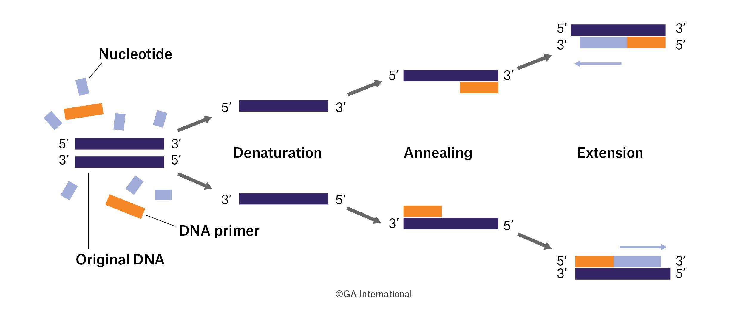Polymerase Chain Reaction (PCR) diagram