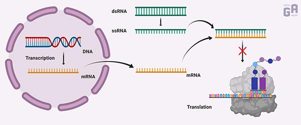 0067 - siRNA Therapeutics_600 x 250px-1