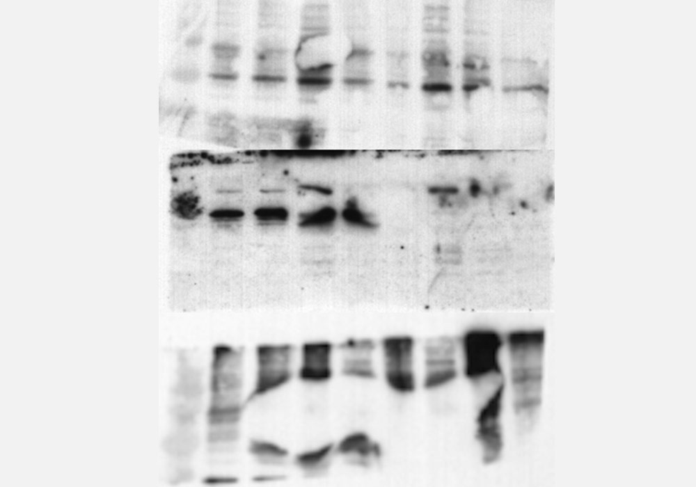 western blot with a bubble that resembles a fish