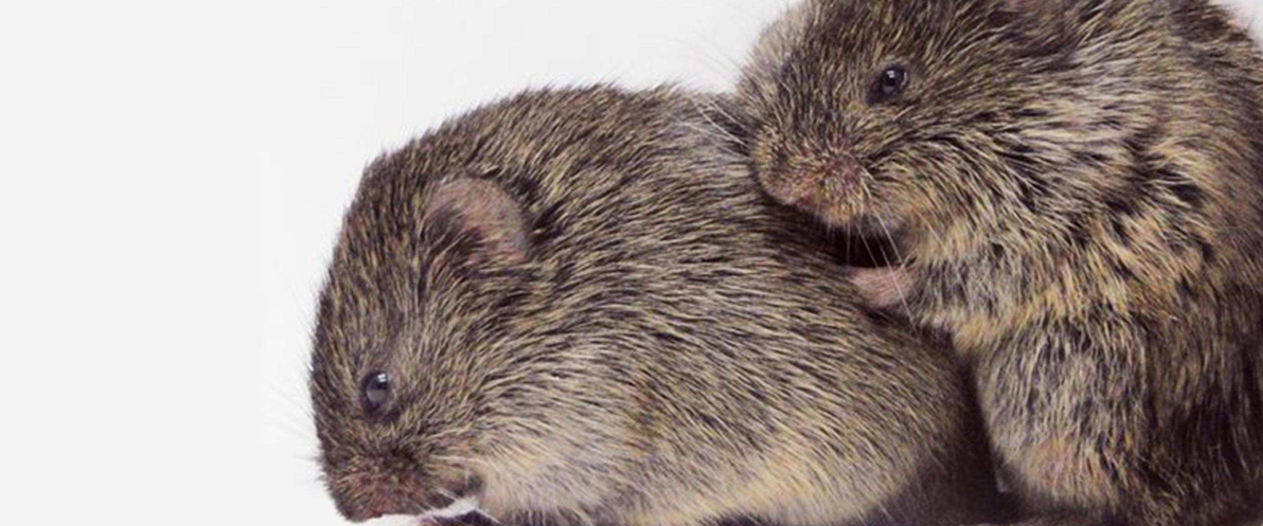 Neurobiology of Love - Prairie Voles